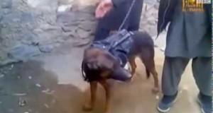 طالبان تأسر كلب