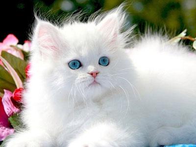 انواع القطط بالصور